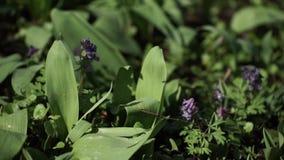 Majalis purpere bloemen van lelietje-van-dalenconvallaria Purper Lelietje-van-dalen op gras De Bloesem van de lente Close-up stock videobeelden
