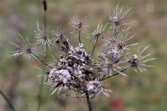 Majcher roślina Fotografia Royalty Free