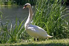 Majesctic Swan. A majestic swan in the sun Stock Photo