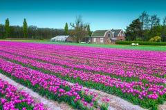 Majestätische Frühlingslandschaft mit rosa Tulpenfeldern in den Niederlanden, Europa Stockbild
