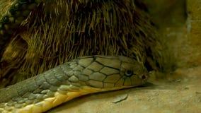 Majestätische giftige Schlange mit heller gestreifter Haut Schöne Monocled Königskobra auf Felsen im Terrariumkäfig stock footage