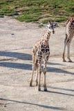 Majestätische Giraffe lizenzfreie stockfotos