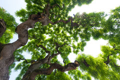 Majestätische, grüne Krone des hohen, großen Ulmenbaums mit knotigem, twis Stockbilder