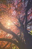 Majestätische Landschaft mit Herbstrotbaum Lizenzfreies Stockfoto