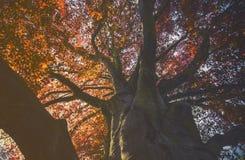 Majestätische Landschaft mit Herbstrotbaum Lizenzfreie Stockbilder