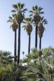 Majestätische Palmen Lizenzfreies Stockfoto