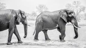Majestätische Safarielefanten stockfoto