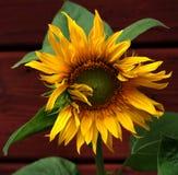 Majestätische Sonnenblume Stockfoto