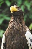 Majestätischer Adler Stockfotografie