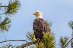 Majestätischer Adler auf Niederlassung Lizenzfreie Stockfotos