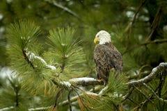 Majestätischer Adler im Baum Stockfotografie