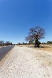 Majestätischer Baobabbaum Lizenzfreie Stockfotografie