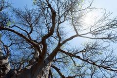 Majestätischer Baobabbaum Stockfotografie