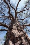 Majestätischer Baobabbaum Lizenzfreies Stockfoto