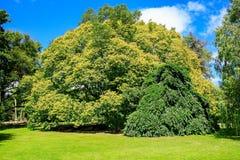 Majestätischer Baum in botanischem Garten Christchurchs, Neuseeland lizenzfreies stockbild