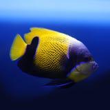 Majestätischer (Blaues umgegürtelt) Engel Lizenzfreies Stockfoto