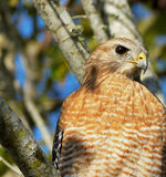 Majestätischer Falke Lizenzfreies Stockfoto