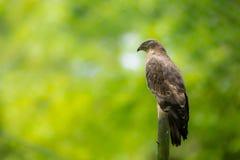 Majestätischer Falke, der auf einem toten Baum hockt Stockfoto