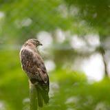 Majestätischer Falke, der auf einem toten Baum hockt Lizenzfreies Stockbild