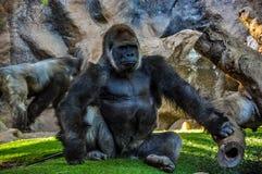 Majestätischer Gorilla im Zoo Stockfotos