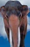 Majestätischer indischer Elefant lizenzfreie stockfotografie