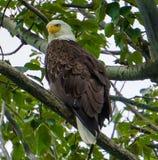 Majestätischer kahler Adler Stockfoto
