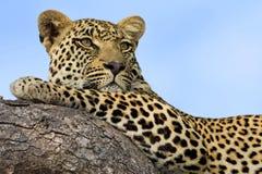 Majestätischer Leopard lizenzfreies stockfoto