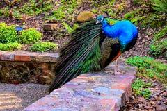 Majestätischer Pfau, der auf Gartenleiste steht Lizenzfreie Stockfotos