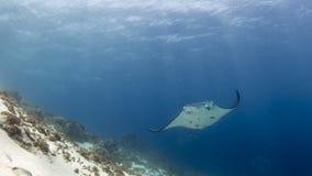 Majestätischer Riff Manta mit begleitenden Reinigerfischen lizenzfreies stockfoto