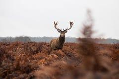 Majestätischer Rotwild-Hirsch, der innerhalb des roten Farns stolz steht stockbild