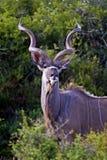 Majestätisches Kudu Bull Stockfoto