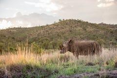 Majestätisches weißes Nashorn Stockbild