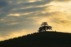 Majestätisches weltliches Libanonzederbaumsymbol des Langhe Piemont Italien lizenzfreie stockfotos