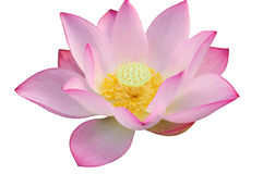 majestätisk blommalotusblomma Fotografering för Bildbyråer
