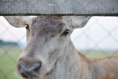 Majestätisk fullvuxen hankronhjort för röda hjortar i Autumn Fall Arkivbild