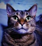 Majestätisk katt royaltyfria foton
