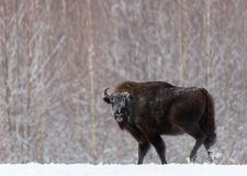Majestätisk kraftig vuxen AurochsWisent i vintertid, Vitryssland Lös europeisk Wood bison, tjurman Djurlivplats från natu royaltyfria bilder
