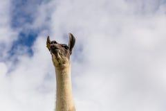 Majestätisk lama Arkivfoto