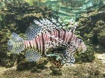 Majestätisk lejonfisk Arkivfoto