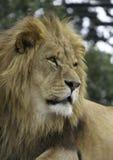 majestätisk lion Arkivbild