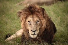 majestätisk lion Arkivbilder