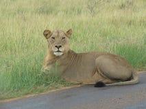 majestätisk lioness Arkivbilder