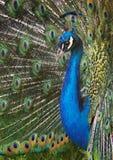 majestätisk påfågel Royaltyfri Bild
