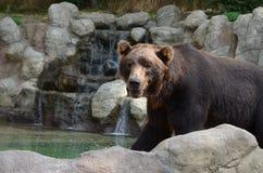Majestätisk rovdjurs- brunbjörn arkivfoton