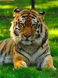 Majestätisk Siberian tiger Arkivfoto