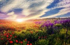 Majestätisk solnedgång över vallmofältet Färgrika moln i himlen Royaltyfri Fotografi