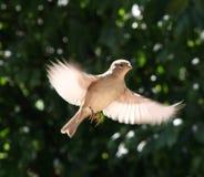 majestätisk sparrow Arkivfoton