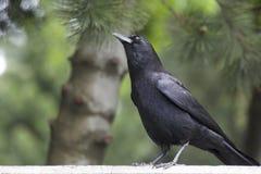 Majestätisk svart fågel som är korpsvart i en suddig miljö Arkivfoton
