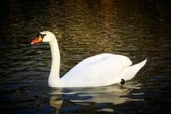 majestätisk swan Arkivfoton