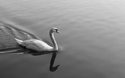 majestätisk swan Arkivbild